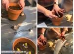 Выгонка гиацинтов